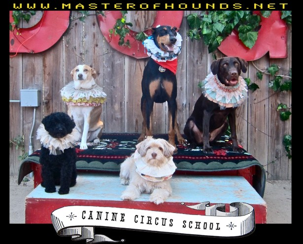 Canine circus class circus 1 choc lab