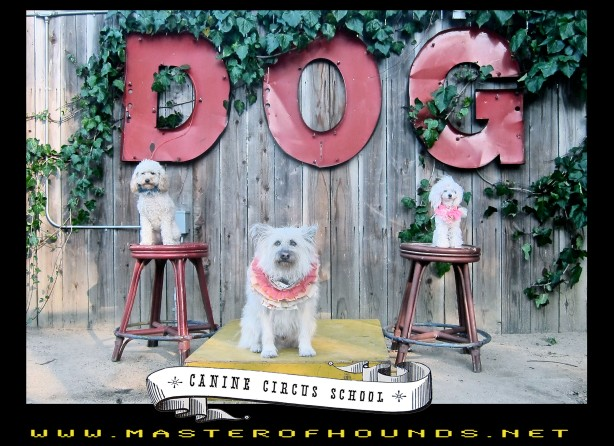 canine circus school clive and poodles