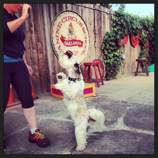 ra bi pedal head balance canine circus school